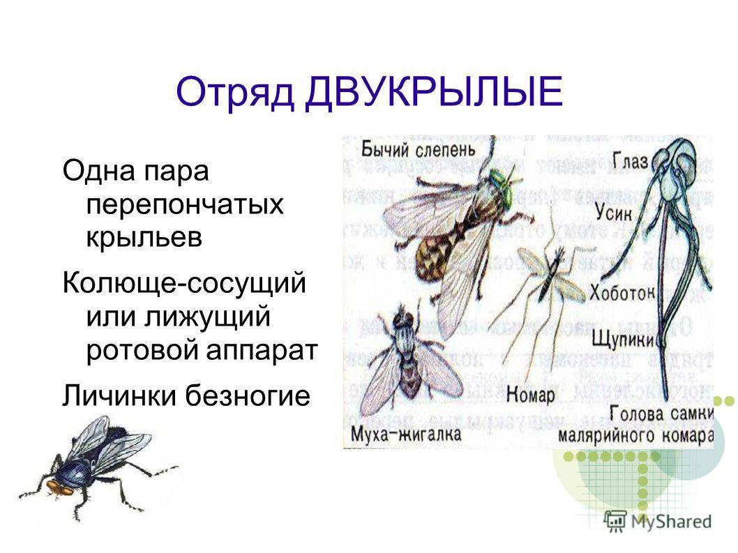 Отряд ДВУКРЫЛЫЕ Одна пара перепончатых крыльев Колюще-сосущий или лижущий ротовой аппарат Личинки безногие