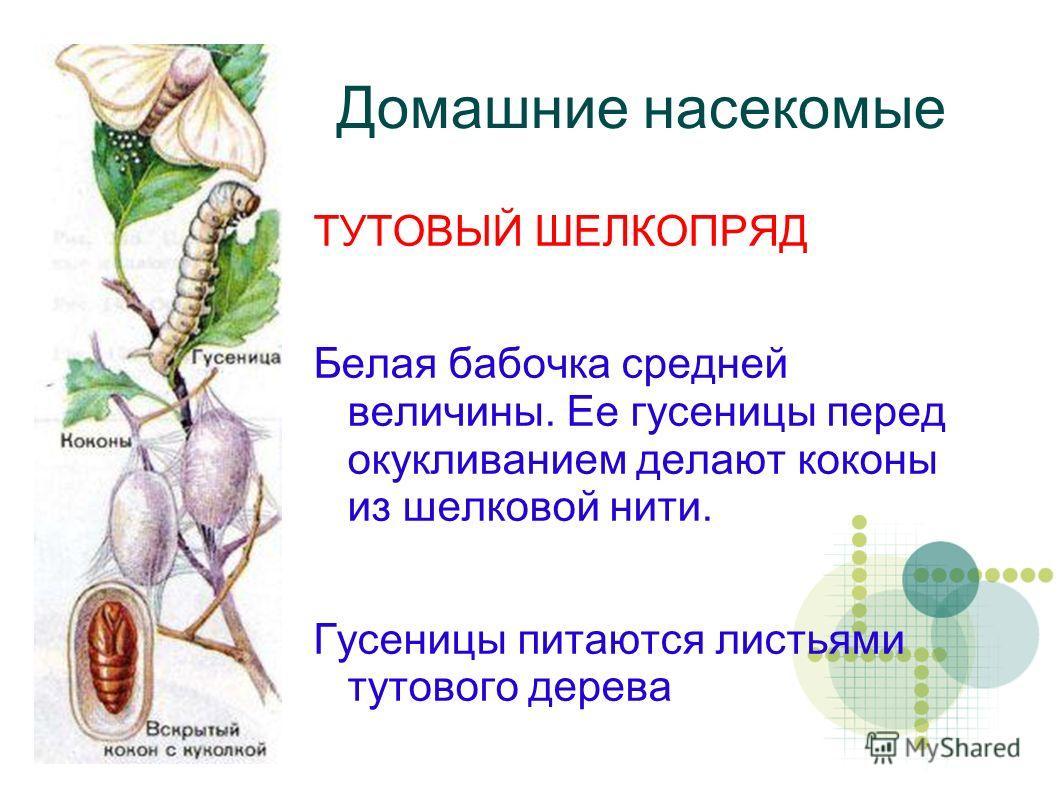 Домашние насекомые ТУТОВЫЙ ШЕЛКОПРЯД Белая бабочка средней величины. Ее гусеницы перед окукливанием делают коконы из шелковой нити. Гусеницы питаются листьями тутового дерева