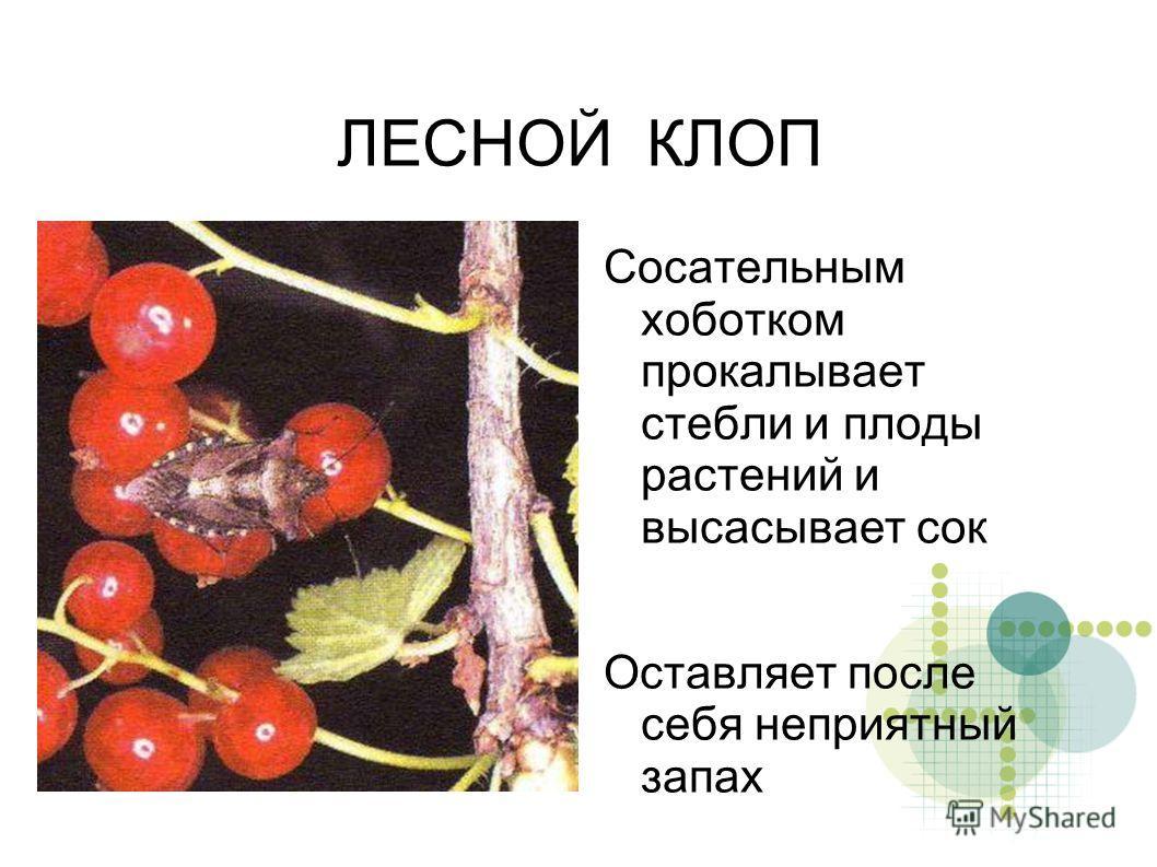 ЛЕСНОЙ КЛОП Сосательным хоботком прокалывает стебли и плоды растений и высасывает сок Оставляет после себя неприятный запах