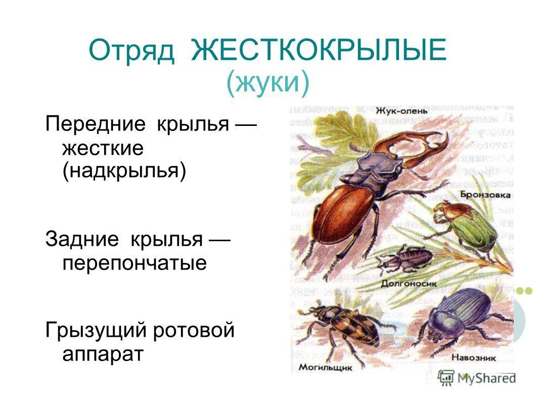 Отряд ЖЕСТКОКРЫЛЫЕ (жуки) Передние крылья жесткие (надкрылья) Задние крылья перепончатые Грызущий ротовой аппарат