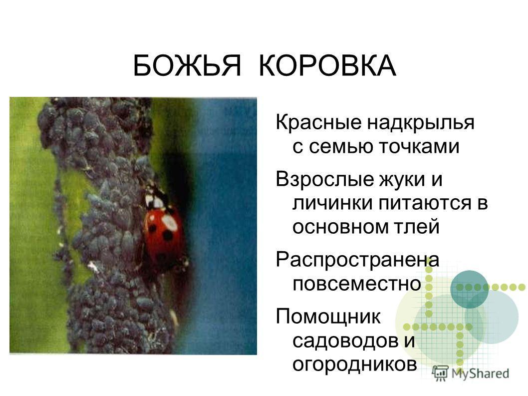 БОЖЬЯ КОРОВКА Красные надкрылья с семью точками Взрослые жуки и личинки питаются в основном тлей Распространена повсеместно Помощник садоводов и огородников