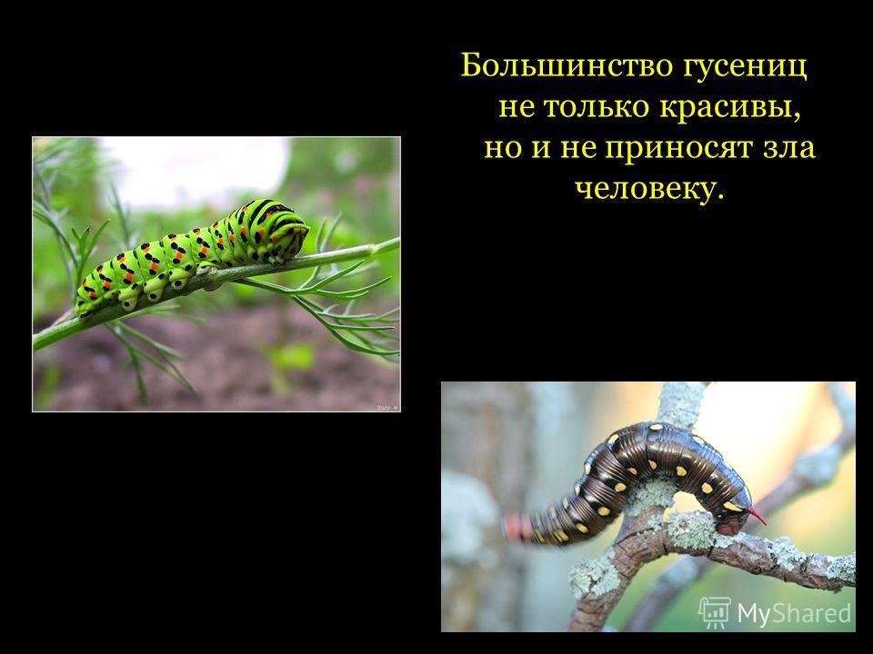 Большинство гусениц не только красивы, но и не приносят зла человеку.