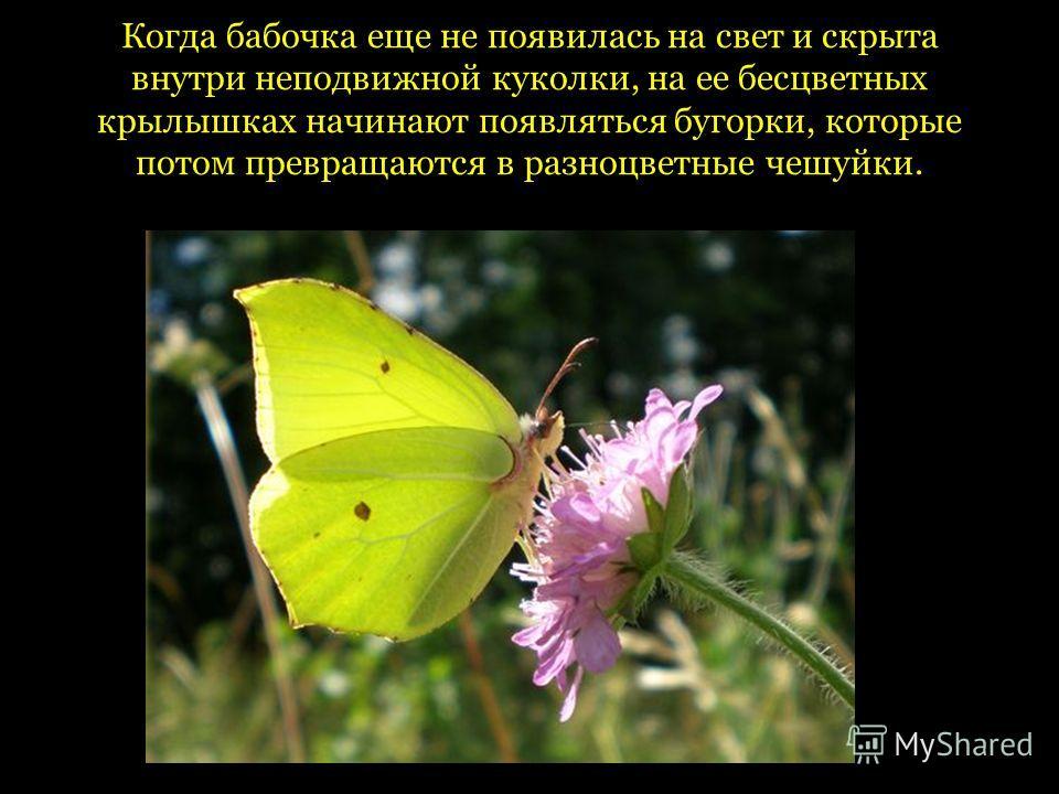 Когда бабочка еще не появилась на свет и скрыта внутри неподвижной куколки, на ее бесцветных крылышках начинают появляться бугорки, которые потом превращаются в разноцветные чешуйки.