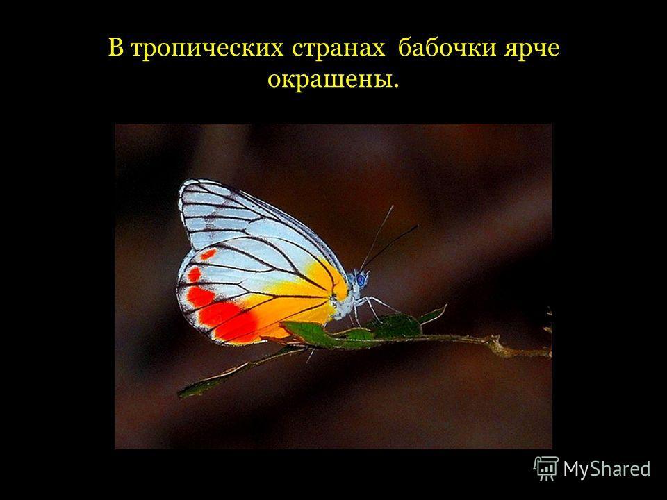 В тропических странах бабочки ярче окрашены.