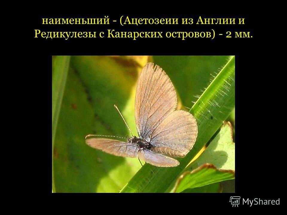 наименьший - (Ацетозеии из Англии и Редикулезы с Канарских островов) - 2 мм.