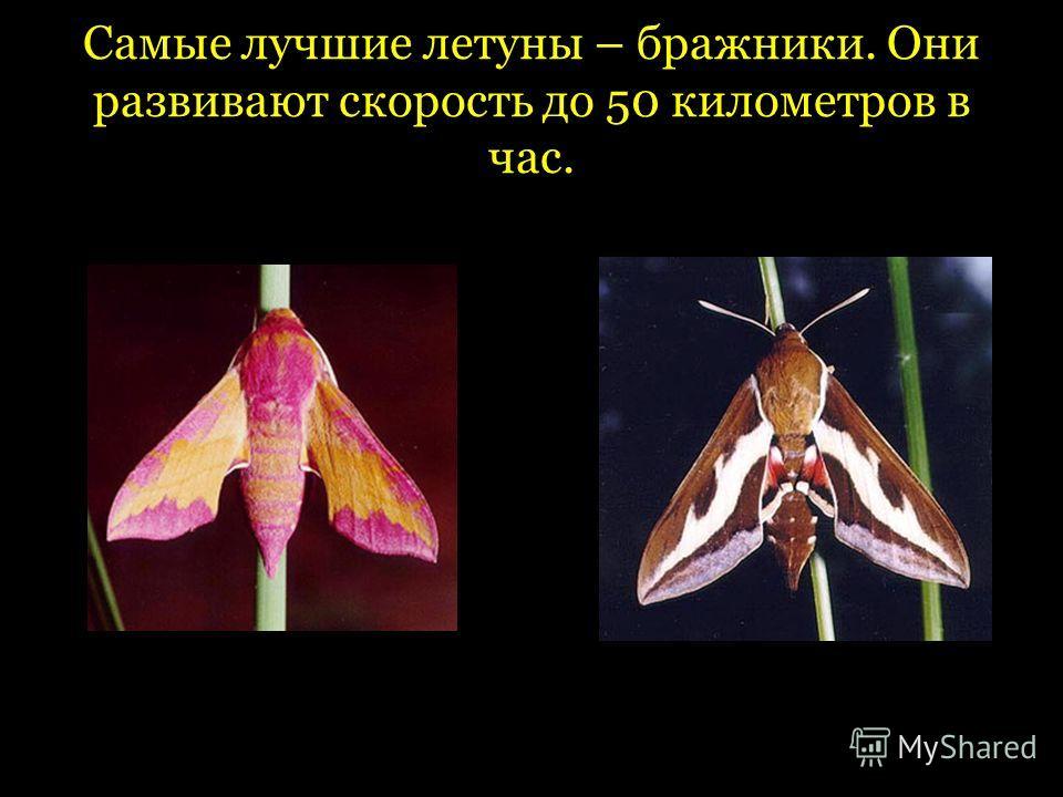 Самые лучшие летуны – бражники. Они развивают скорость до 50 километров в час.