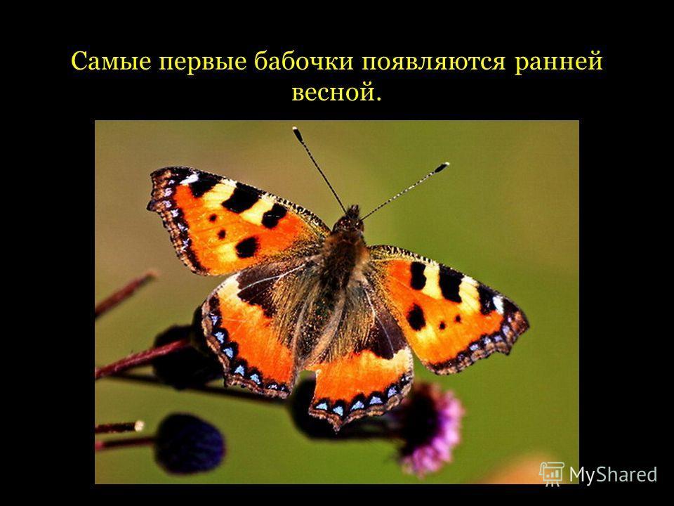 Самые первые бабочки появляются ранней весной.