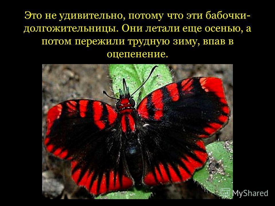 Это не удивительно, потому что эти бабочки- долгожительницы. Они летали еще осенью, а потом пережили трудную зиму, впав в оцепенение.