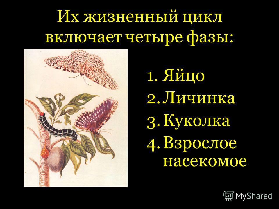 Их жизненный цикл включает четыре фазы: 1.Яйцо 2.Личинка 3.Куколка 4.Взрослое насекомое