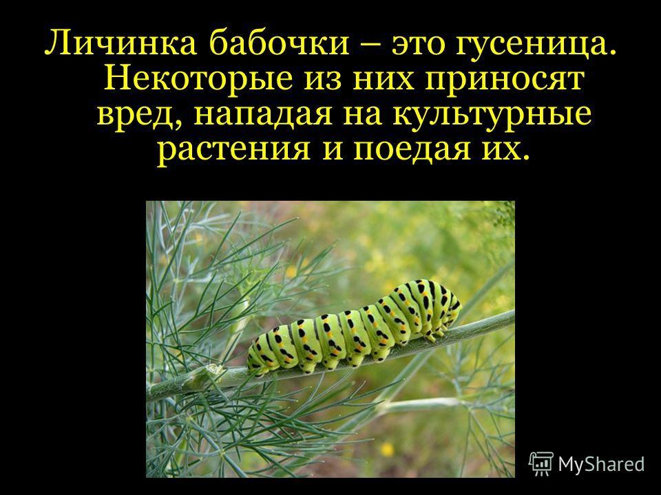 Личинка бабочки – это гусеница. Некоторые из них приносят вред, нападая на культурные растения и поедая их.