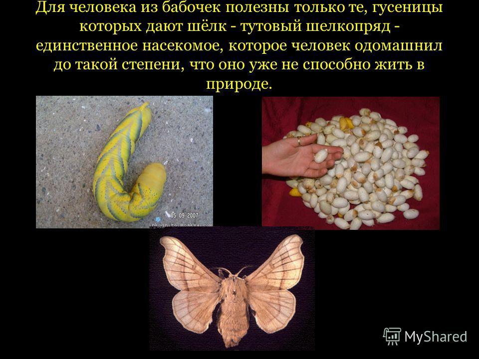 Для человека из бабочек полезны только те, гусеницы которых дают шёлк - тутовый шелкопряд - единственное насекомое, которое человек одомашнил до такой степени, что оно уже не способно жить в природе.
