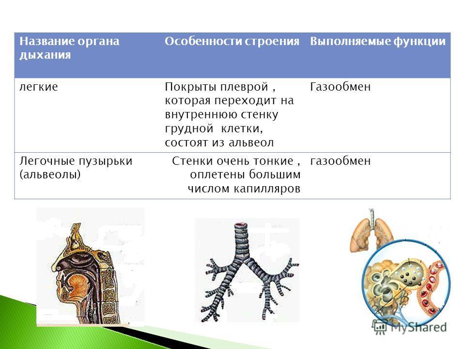 Название органа дыхания Особенности строенияВыполняемые функции легкиеПокрыты плеврой, которая переходит на внутреннюю стенку грудной клетки, состоят из альвеол Газообмен Легочные пузырьки (альвеолы) Стенки очень тонкие, оплетены большим числом капил