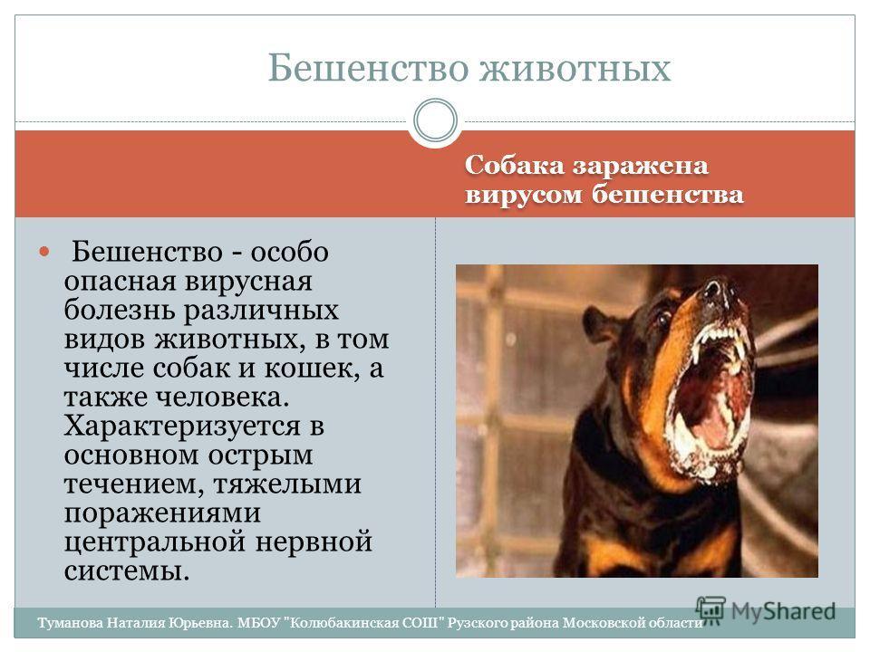 Собака заражена вирусом бешенства Бешенство - особо опасная вирусная болезнь различных видов животных, в том числе собак и кошек, а также человека. Характеризуется в основном острым течением, тяжелыми поражениями центральной нервной системы. Бешенств