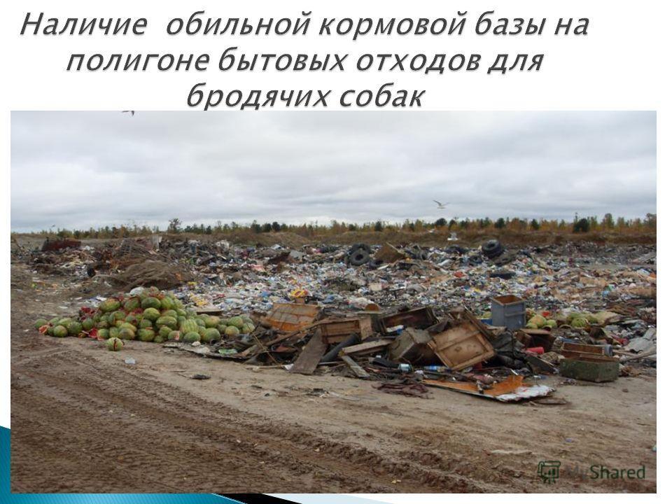Наличие обильной кормовой базы на полигоне бытовых отходов для бродячих собак