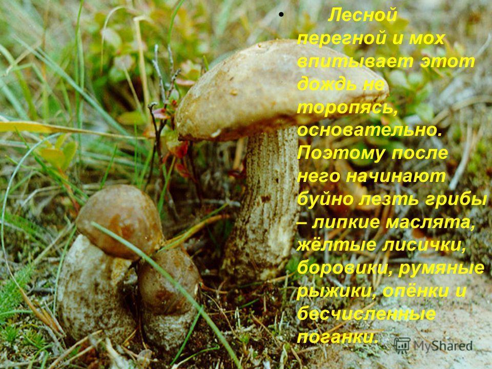 Лесной перегной и мох впитывает этот дождь не торопясь, основательно. Поэтому после него начинают буйно лезть грибы – липкие маслята, жёлтые лисички, боровики, румяные рыжики, опёнки и бесчисленные поганки.