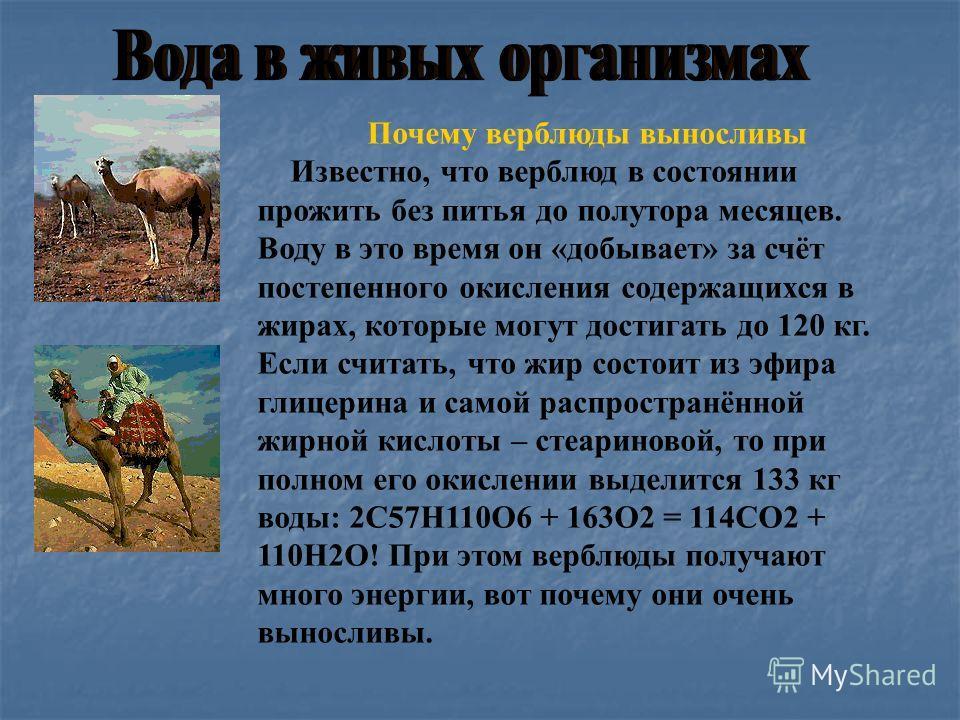 Почему верблюды выносливы Известно, что верблюд в состоянии прожить без питья до полутора месяцев. Воду в это время он «добывает» за счёт постепенного окисления содержащихся в жирах, которые могут достигать до 120 кг. Если считать, что жир состоит из