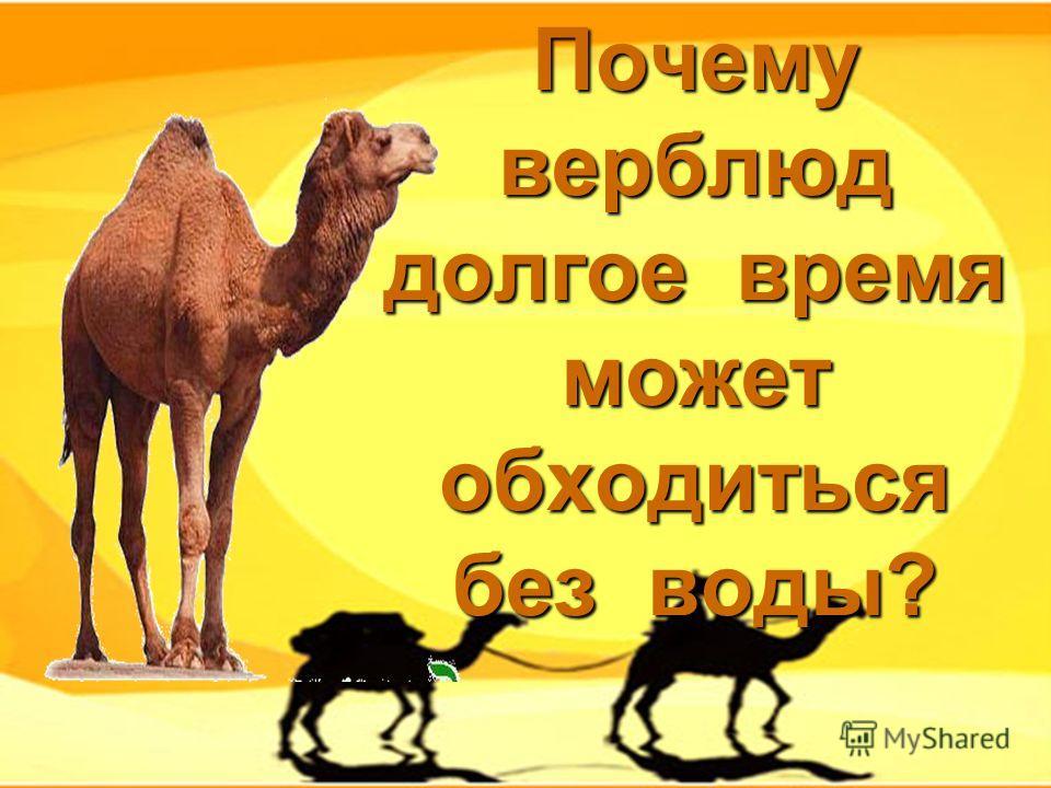 Почему верблюд долгое время может обходиться без воды?