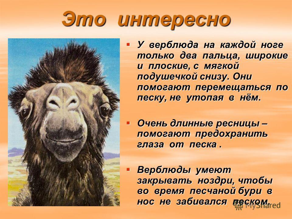 Это интересно У верблюда на каждой ноге только два пальца, широкие и плоские, с мягкой подушечкой снизу. Они помогают перемещаться по песку, не утопая в нём. У верблюда на каждой ноге только два пальца, широкие и плоские, с мягкой подушечкой снизу. О