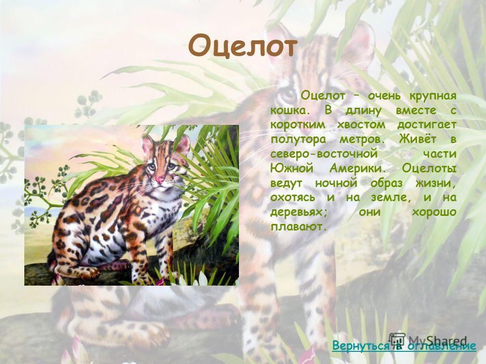 Оцелот Оцелот – очень крупная кошка. В длину вместе с коротким хвостом достигает полутора метров. Живёт в северо-восточной части Южной Америки. Оцелоты ведут ночной образ жизни, охотясь и на земле, и на деревьях; они хорошо плавают. Вернуться в оглав