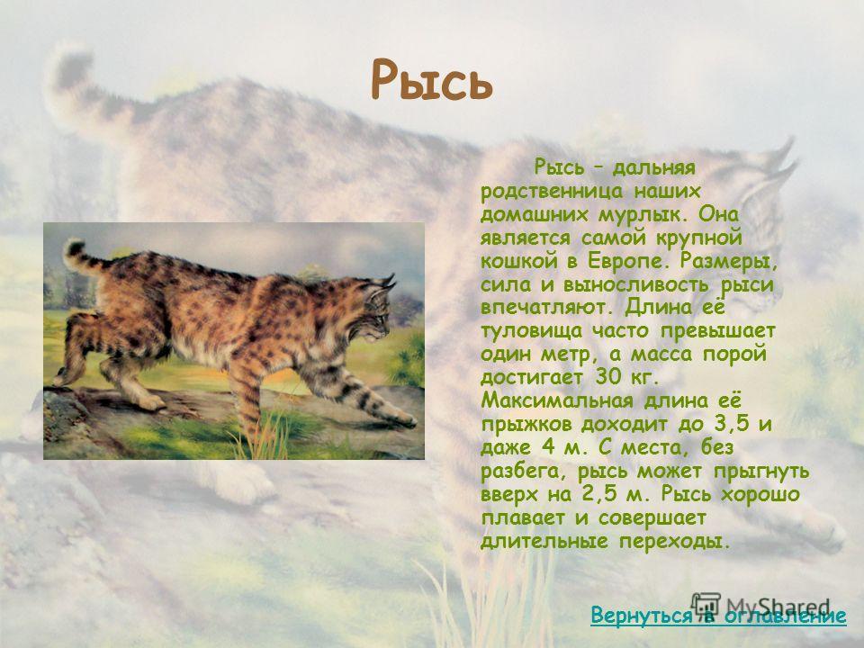 Рысь Рысь – дальняя родственница наших домашних мурлык. Она является самой крупной кошкой в Европе. Размеры, сила и выносливость рыси впечатляют. Длина её туловища часто превышает один метр, а масса порой достигает 30 кг. Максимальная длина её прыжко