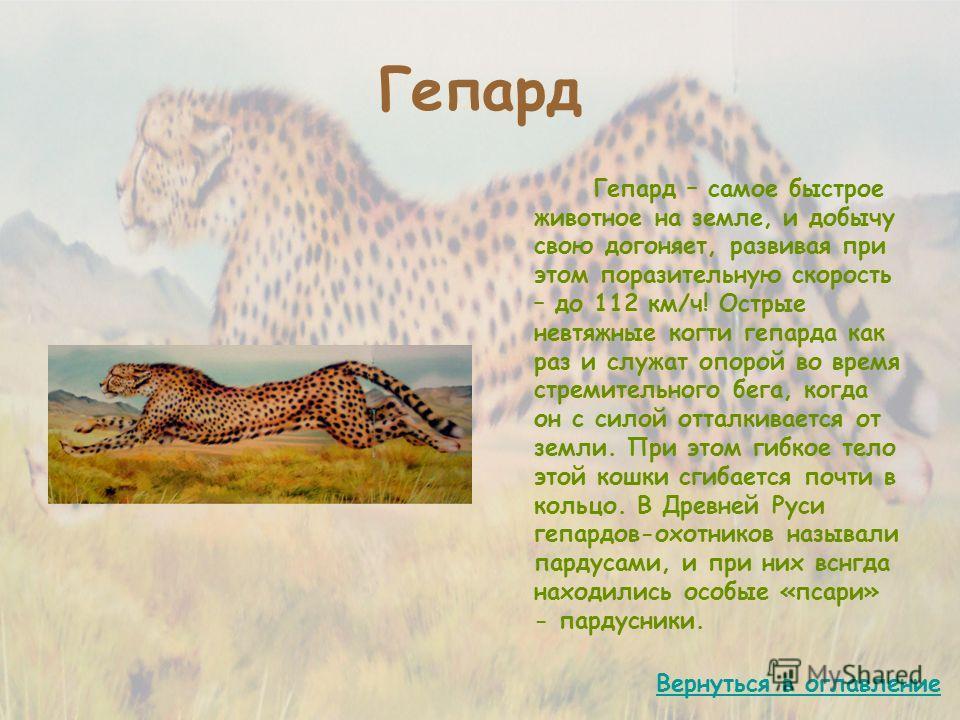 Гепард Гепард – самое быстрое животное на земле, и добычу свою догоняет, развивая при этом поразительную скорость – до 112 км/ч! Острые невтяжные когти гепарда как раз и служат опорой во время стремительного бега, когда он с силой отталкивается от зе