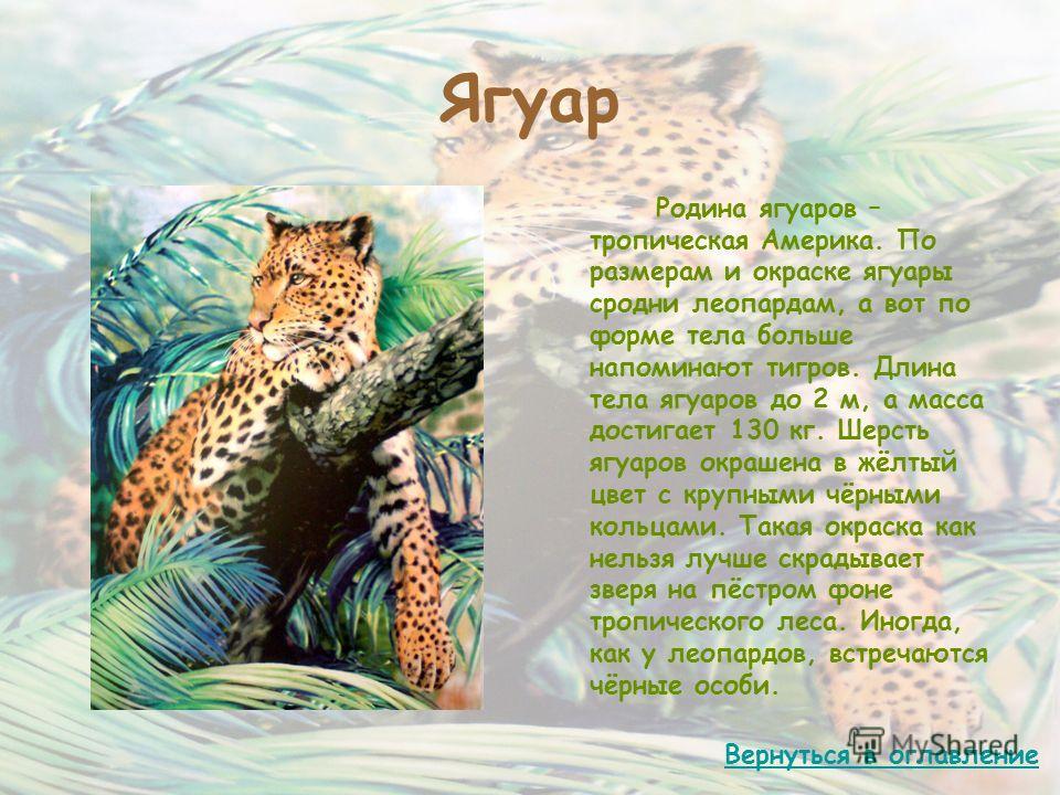 Ягуар Родина ягуаров – тропическая Америка. По размерам и окраске ягуары сродни леопардам, а вот по форме тела больше напоминают тигров. Длина тела ягуаров до 2 м, а масса достигает 130 кг. Шерсть ягуаров окрашена в жёлтый цвет с крупными чёрными кол