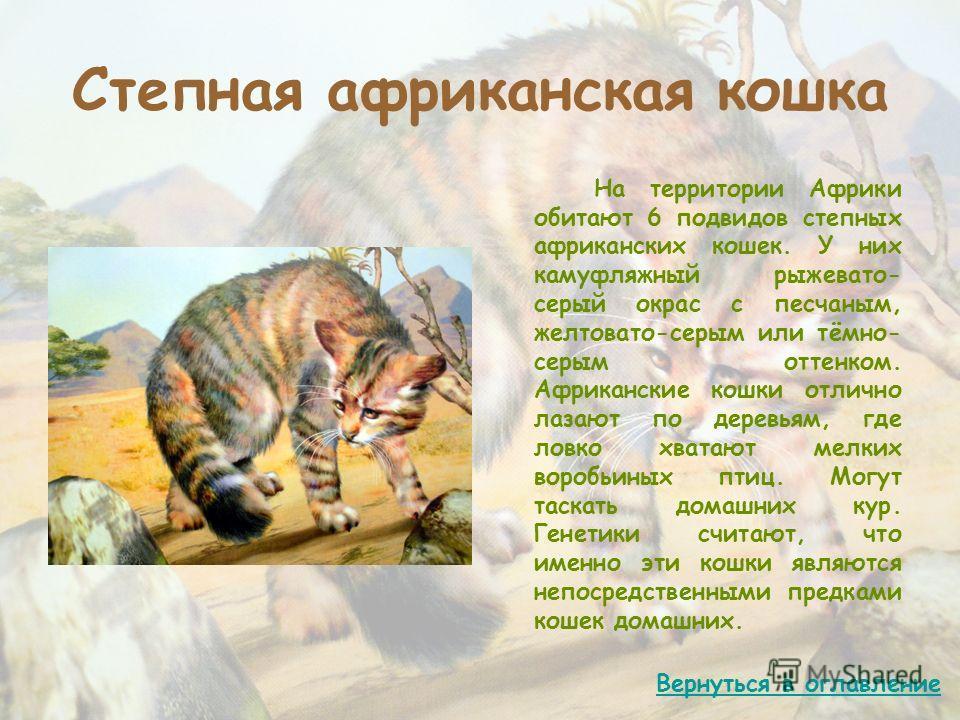 Степная африканская кошка На территории Африки обитают 6 подвидов степных африканских кошек. У них камуфляжный рыжевато- серый окрас с песчаным, желтовато-серым или тёмно- серым оттенком. Африканские кошки отлично лазают по деревьям, где ловко хватаю