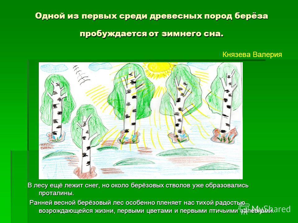 Одной из первых среди древесных пород берёза пробуждается от зимнего сна. В лесу ещё лежит снег, но около берёзовых стволов уже образовались проталины. Ранней весной берёзовый лес особенно пленяет нас тихой радостью возрождающейся жизни, первыми цвет