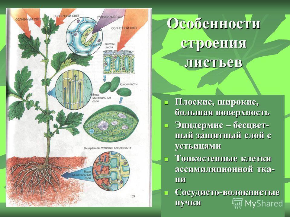Особенности строения листьев Плоские, широкие, большая поверхность Плоские, широкие, большая поверхность Эпидермис – бесцвет- ный защитный слой с устьицами Эпидермис – бесцвет- ный защитный слой с устьицами Тонкостенные клетки ассимиляционной тка- ни