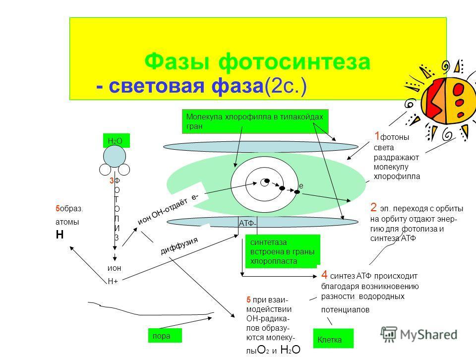 Фазы фотосинтеза - световая фаза(2с.) 1 фотоны света раздражают молекулу хлорофилла Молекула хлорофилла в тилакойдах гран е 2 эл. переходя с орбиты на орбиту отдают энер- гию для фотолиза и синтеза АТФ 3Ф О Т О Л И З H2OH2O Клетка ион ОН-отдаёт е- ио