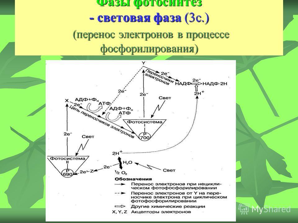 Фазы фотосинтез - световая фаза (3с.) (перенос электронов в процессе фосфорилирования)