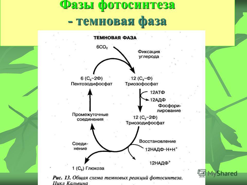 Фазы фотосинтеза - темновая фаза Фазы фотосинтеза - темновая фаза