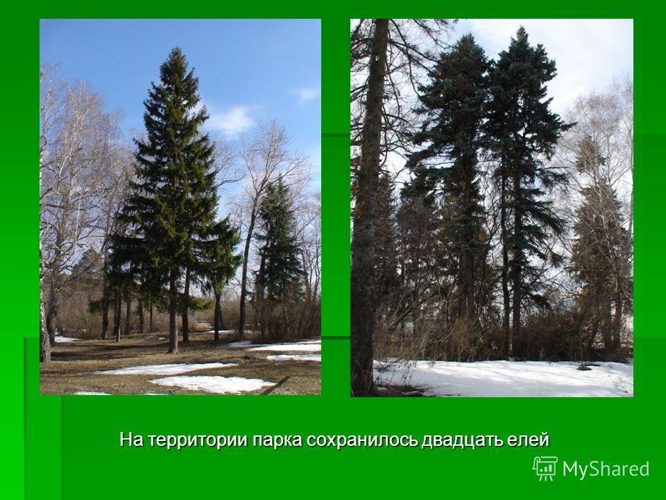 На территории парка сохранилось двадцать елей