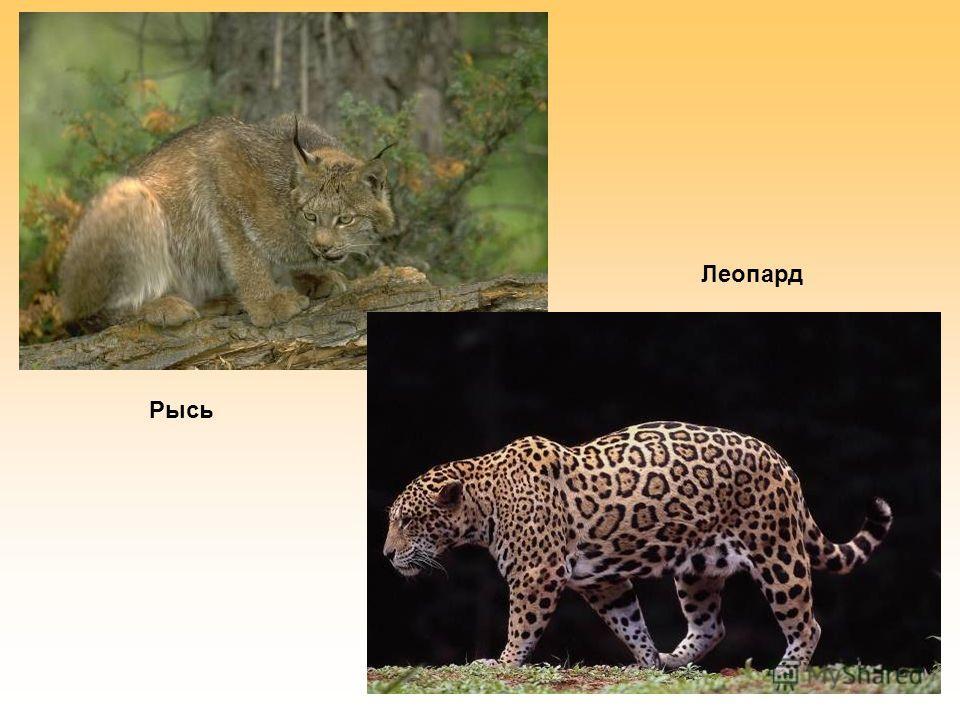 Рысь Леопард