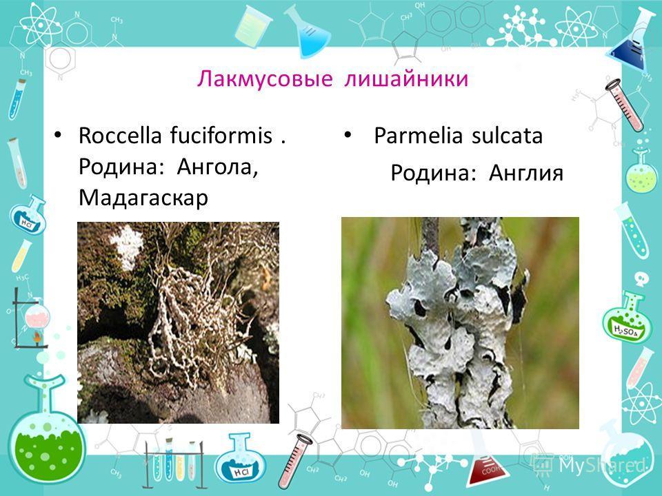 Лакмусовые лишайники Roccella fuciformis. Родина: Ангола, Мадагаскар Parmelia sulcata Родина: Англия