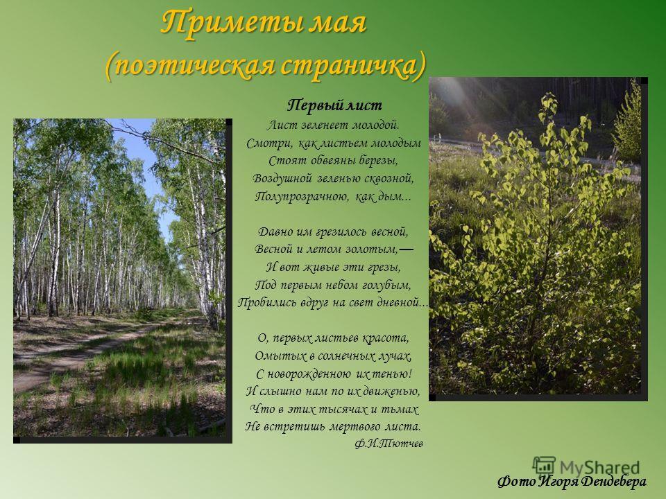 Приметы мая (поэтическая страничка) Первый лист Лист зеленеет молодой. Смотри, как листьем молодым Стоят обвеяны березы, Воздушной зеленью сквозной, Полупрозрачною, как дым... Давно им грезилось весной, Весной и летом золотым, И вот живые эти грезы,