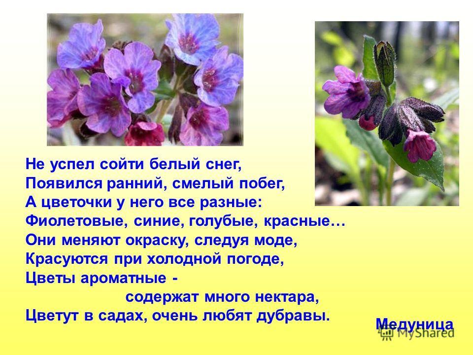 Не успел сойти белый снег, Появился ранний, смелый побег, А цветочки у него все разные: Фиолетовые, синие, голубые, красные… Они меняют окраску, следуя моде, Красуются при холодной погоде, Цветы ароматные - содержат много нектара, Цветут в садах, оче