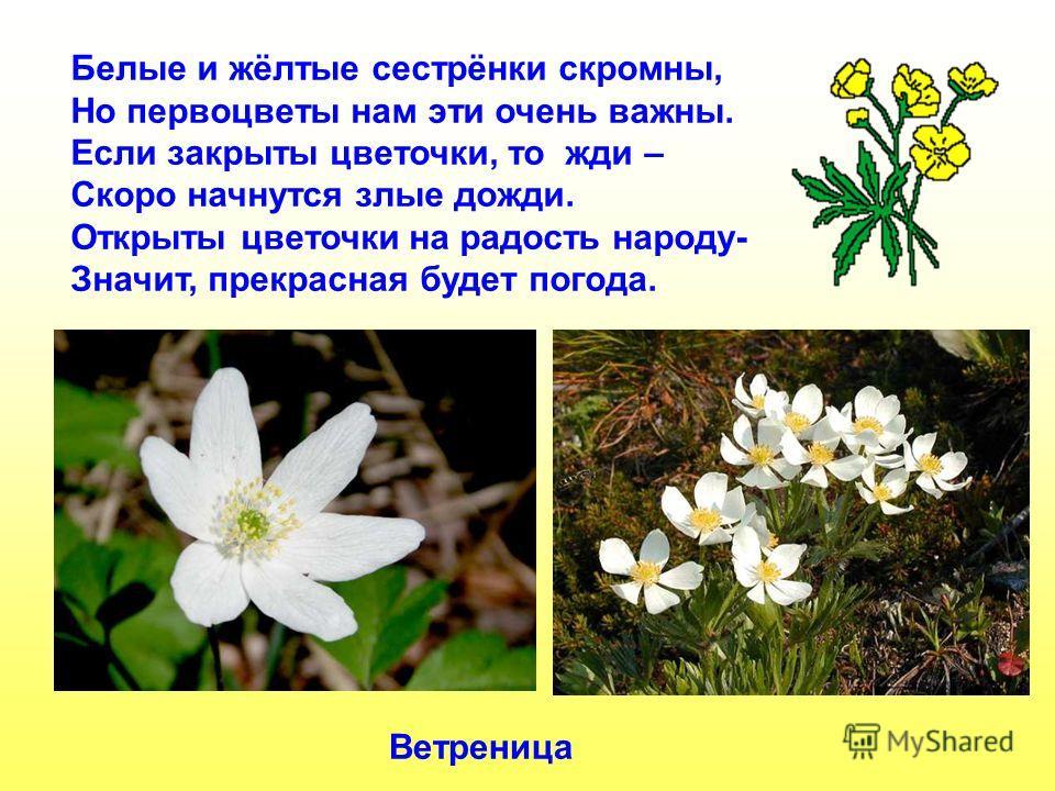 Белые и жёлтые сестрёнки скромны, Но первоцветы нам эти очень важны. Если закрыты цветочки, то жди – Скоро начнутся злые дожди. Открыты цветочки на радость народу- Значит, прекрасная будет погода. Ветреница Белые и жёлтые сестрёнки скромны, но первоц