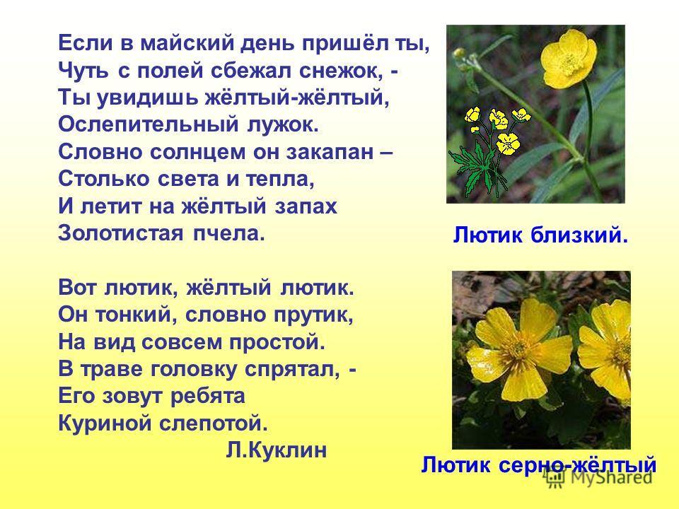 Если в майский день пришёл ты, Чуть с полей сбежал снежок, - Ты увидишь жёлтый-жёлтый, Ослепительный лужок. Словно солнцем он закапан – Столько света и тепла, И летит на жёлтый запах Золотистая пчела. Вот лютик, жёлтый лютик. Он тонкий, словно прутик