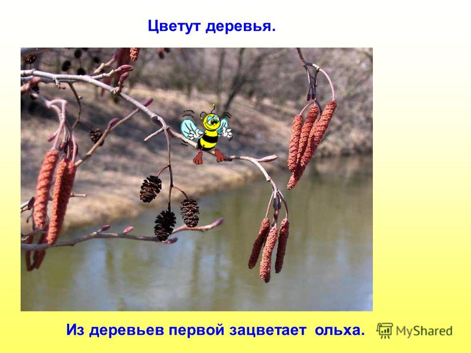 Из деревьев первой зацветает ольха. Цветут деревья. Из деревьев первой зацветает ольха. Цветут деревья.