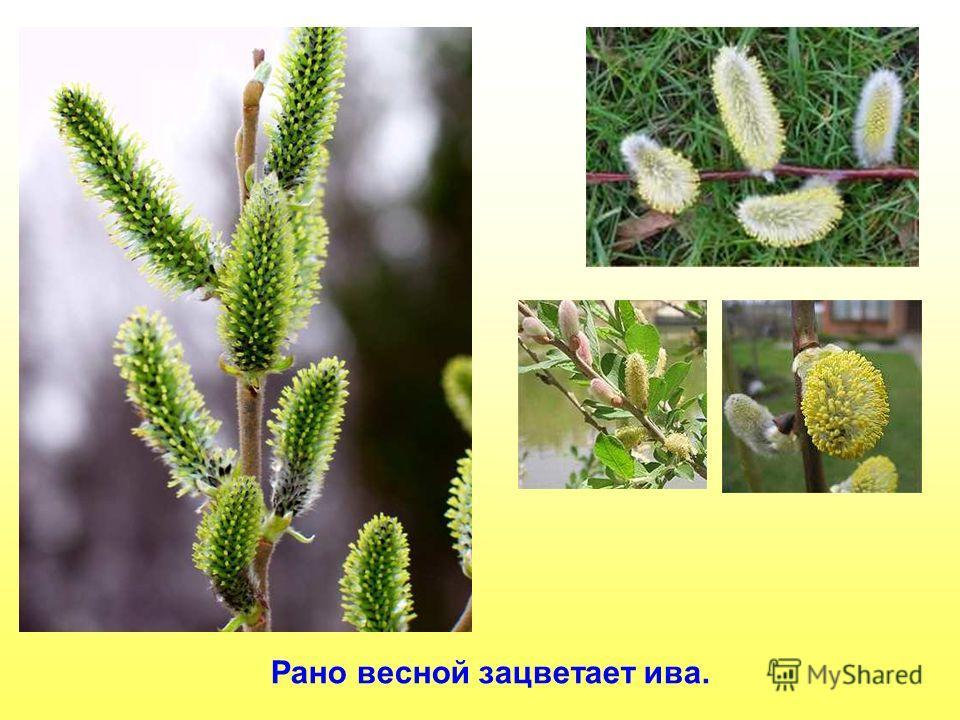 Рано весной зацветает ива.