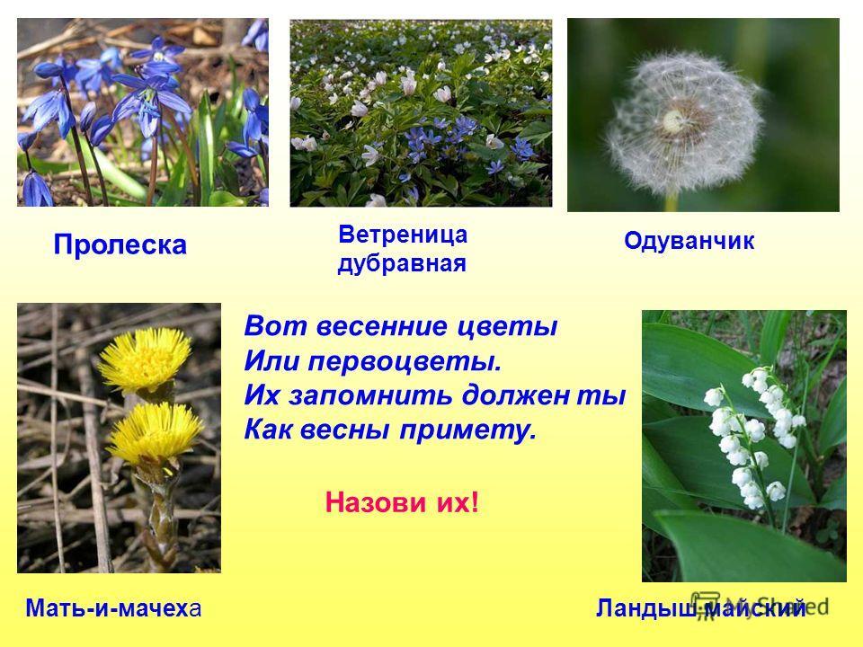 Вот весенние цветы Или первоцветы. Их запомнить должен ты Как весны примету. Назови их! Пролеска Ветреница дубравная Одуванчик Мать-и-мачехаЛандыш майский Вот весенние цветы или первоцветы. Их запомнить должен ты как весны примету. Назови их! Пролеск