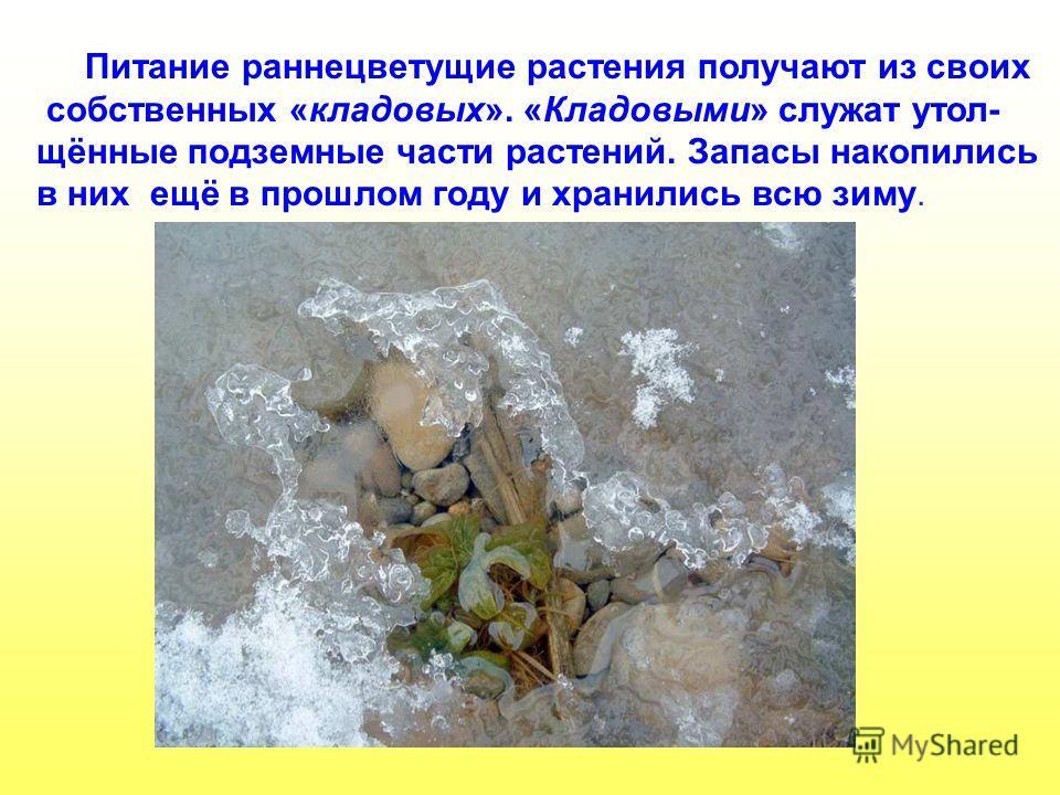 Питание раннецветущие растения получают из своих собственных «кладовых». «Кладовыми» служат утол- щённые подземные части растений. Запасы накопились в них ещё в прошлом году и хранились всю зиму. Питание раннецветущие растения получают из своих собст