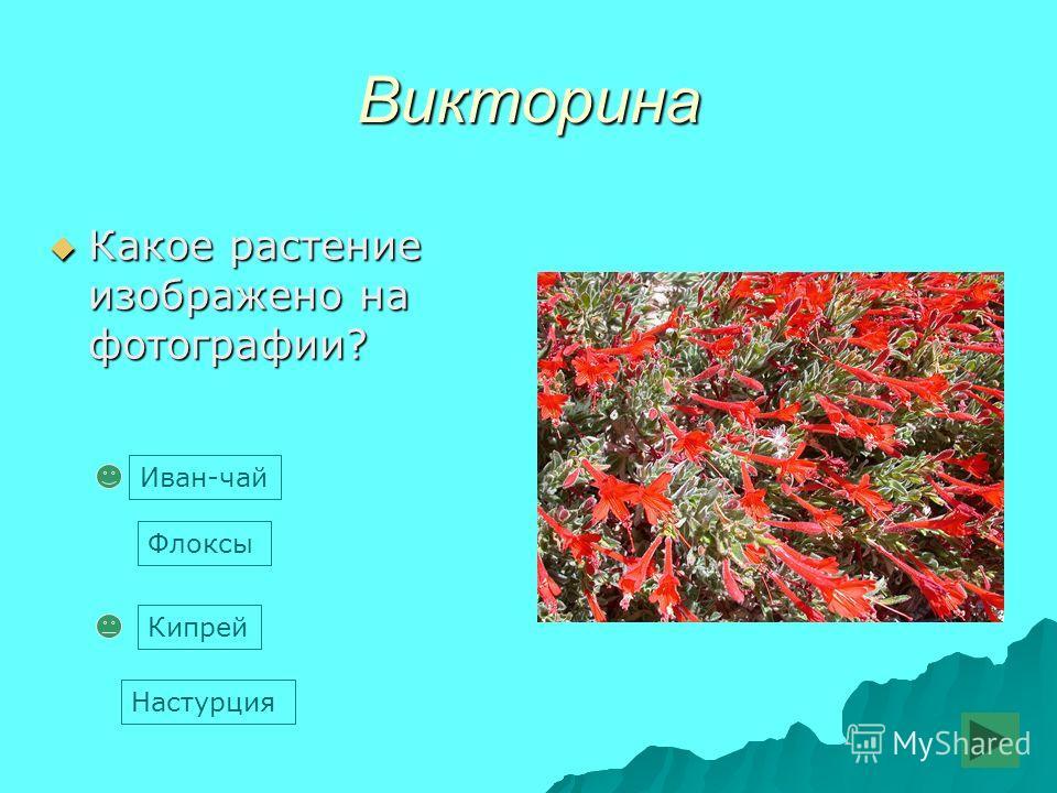 Викторина Какое растение изображено на фотографии? Какое растение изображено на фотографии? Флоксы Кипрей Иван-чай Настурция