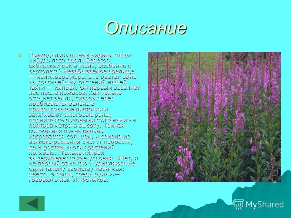 Описание Приходилось ли вам видеть когда- нибудь леса вдоль берегов сибирских рек в июле, особенно с вертолета? Незабываемое зрелище малиновое море. Это цветет одно из красивейших растений нашей тайги кипрей. Он первым заселяет лес после пожаров. Как