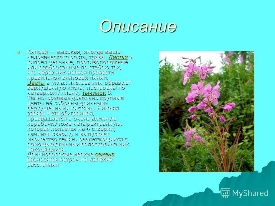 Описание Кипрей высокая, иногда выше человеческого роста, трава. Листья у кипрея цельные, противоположные или разбросанные по стеблю так, что через них нельзя провести правильной винтовой линии. Цветы в углах листьев или образуют верхушечную кисть; п