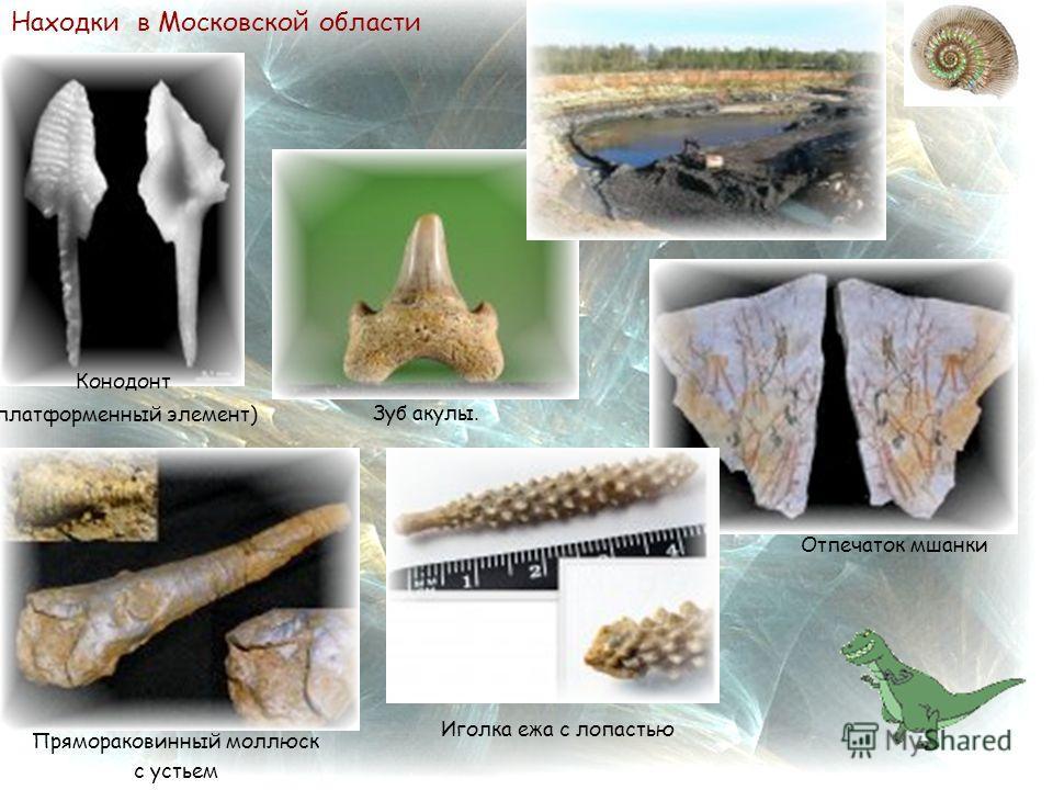 Находки в Московской области Иголка ежа с лопастью Прямораковинный моллюск с устьем Отпечаток мшанки Зуб акулы. Конодонт (платформенный элемент)