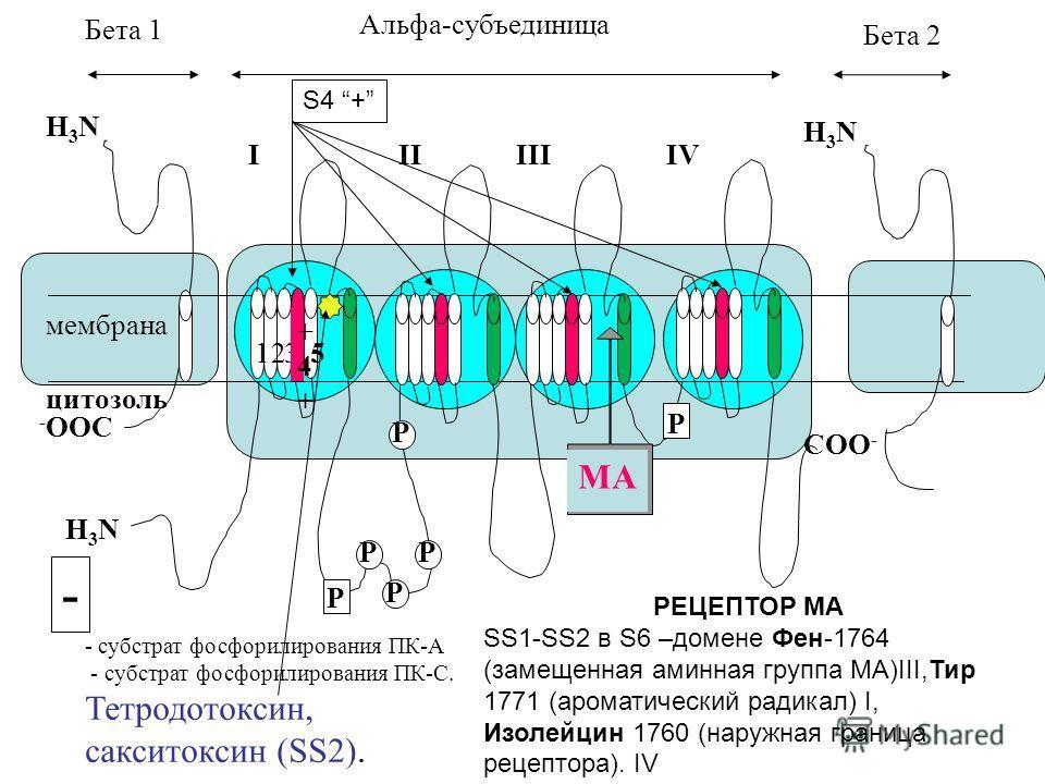 Альфа-субъединица Бета 2 Бета 1 IIIIIIIV H3NH3N H3NH3N H3NH3N - OOC COO - 123 +4++4+ 5 P P P P P P МА - субстрат фосфорилирования ПК-А - субстрат фосфорилирования ПК-С. Тетродотоксин, сакситоксин (SS2). мембрана цитозоль S4 + - РЕЦЕПТОР МА SS1-SS2 в