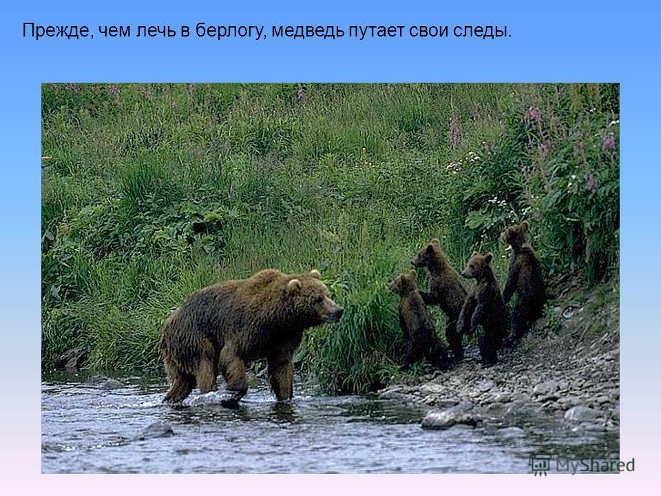 Прежде, чем лечь в берлогу, медведь путает свои следы.