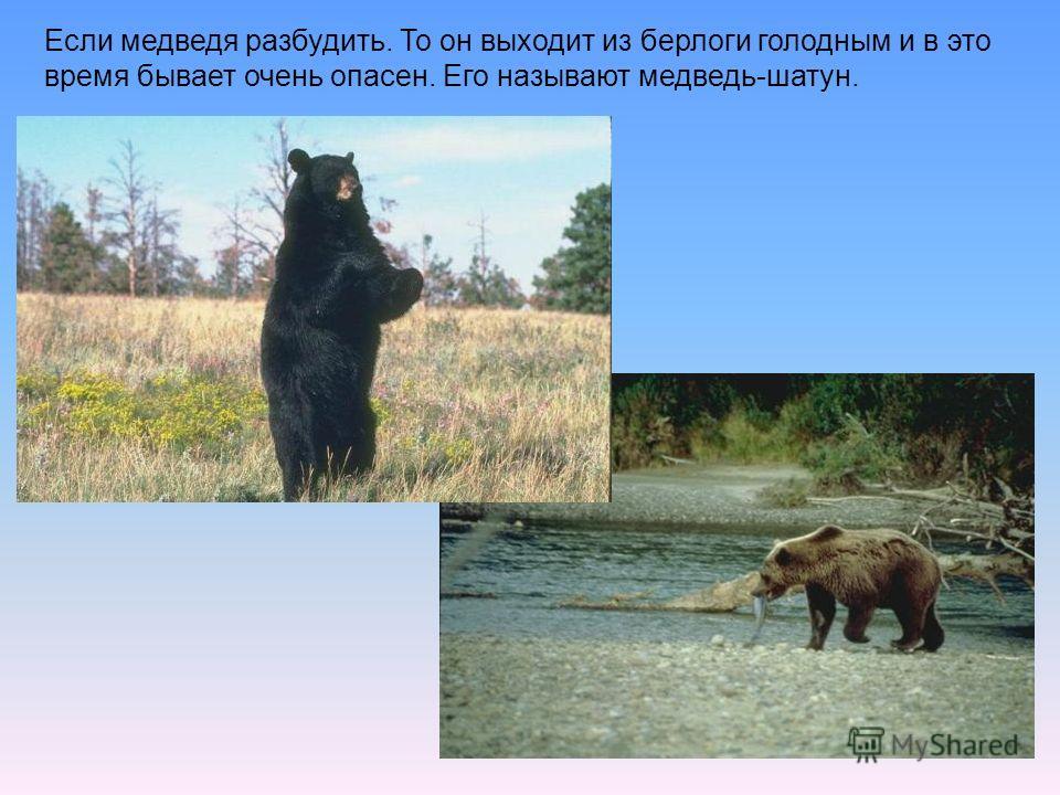Если медведя разбудить. То он выходит из берлоги голодным и в это время бывает очень опасен. Его называют медведь-шатун.